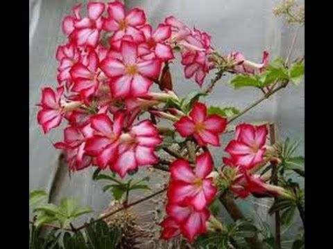 Adenium Plants Care: growing tips, planting, cutting