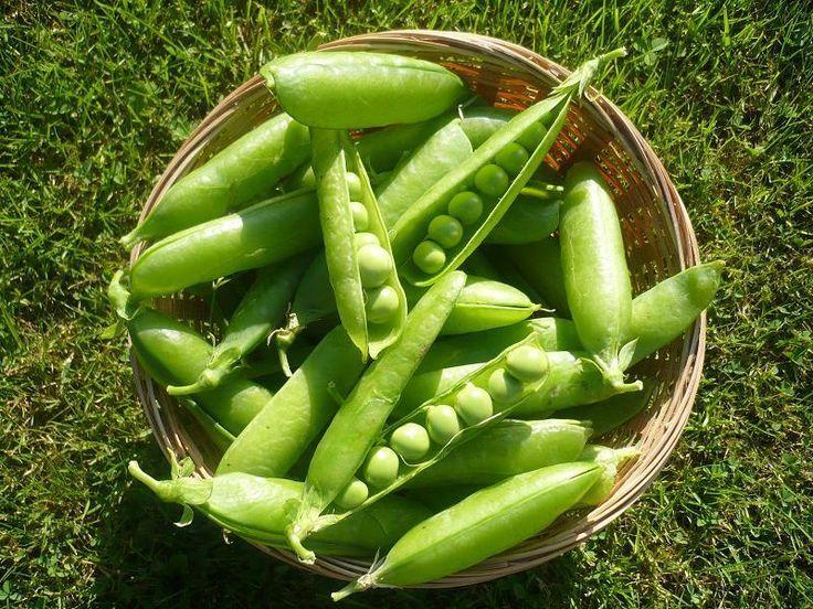 Se tem uma horta em casa e é fã de ervilhas, essas dicas são para você! #ervilhas #horta #plantar