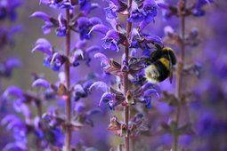 Närbild, blommor, lavendel, bi, bi, insekt, våren