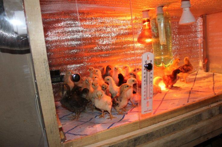 - Форум птицеводство | Крупнейший форум для птицеводов, всё о разведении и содержании домашней птицы