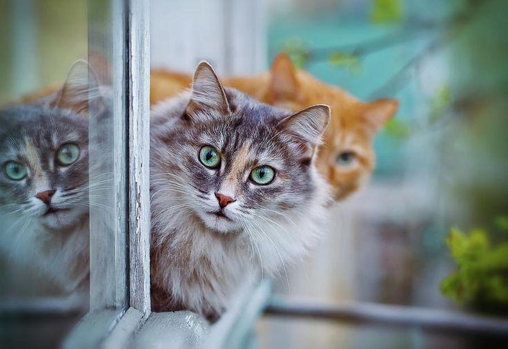 Siberian Gray Cat Photograph by Oksana Ariskina #OksanaAriskina #OksanaAriskinaFineArtPhotography #Artworks #FineArtPhotography #HomeDecor #FineArtPrints #Cat #PrintsForSale #Portrait #Eyes #Aqua