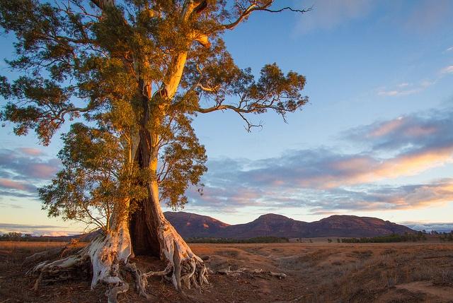 Cazneaux Tree Flinders Ranges South Australia