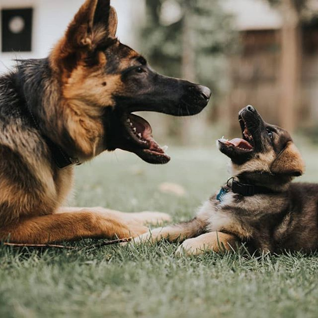 Gsd Wedding Dogs German Shepherd Dog Wedding Pups Wedding Dog