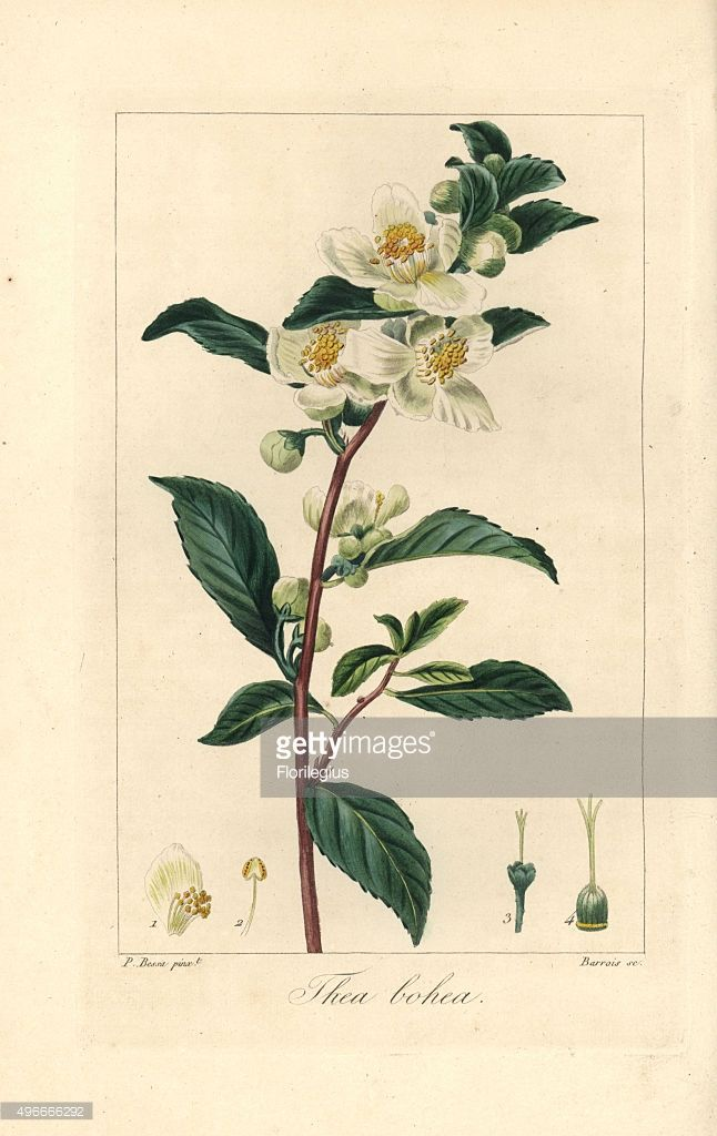 Tea Camellia Sinensis Native To China Handcoloured Stipple Poster Prints Poster Size Prints Fine Art Prints