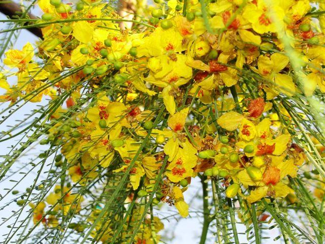Parksonia Aculeata       flowers     Jerusalem Thorn
