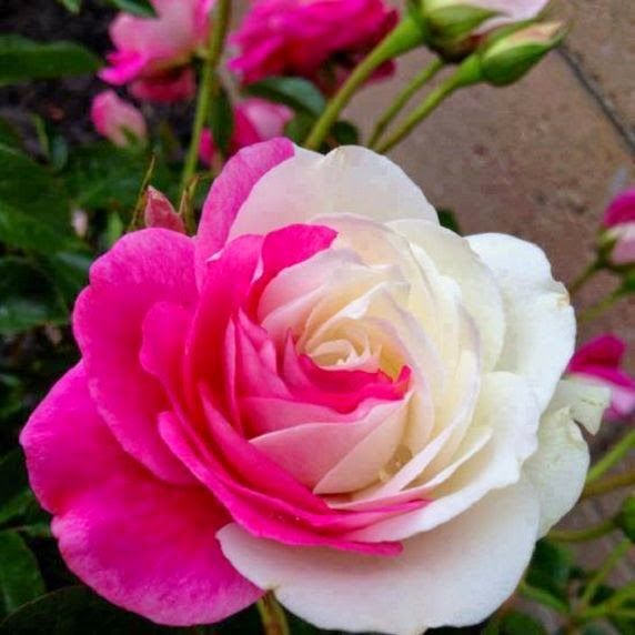 pink and white colorful rose