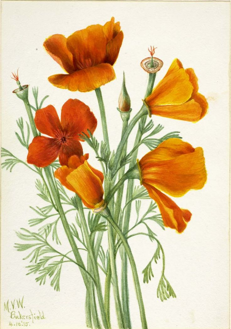 California Golden Poppy Drawing