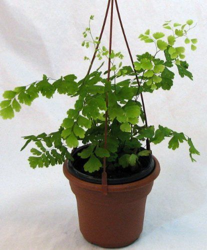 "Hirt's Indoor MaidenHair Fern - Adiantum - 4"" Hanging Basket by Hirts: Houseplants; Ferns. $7.99. Prune as needed. Prefers bright, indirect light.. Immediate shipping in 4"" Hanging Pot.. Keep evenly moist.. Delicate lacy soft green fern. Easy to grow.. FERN: A fern is any one of a group of about 12,000 species of plants. Unlike mosses they have xylem and phloem (making them vascular plants). They have stems, leaves, and roots like other vascular plants. Ferns do not have ..."
