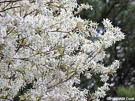 Find This Pin And More On Small Landscaping Trees Autumn Brilliance Serviceberry White Flowers