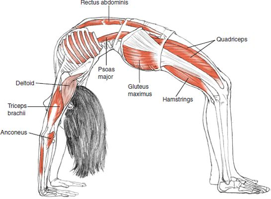 Image result for yoga back bending anatomy