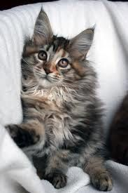 Maine Coon: Maine Coons, Kitty Cat, Felines Maine Coon, Furry Felines Maine, Maine Coon Cats, Coon Kitty, Coon 3, Maine Coon Kittens, Mainecoons