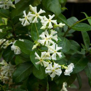31 Best Images About Fragrant Plants On Pinterest