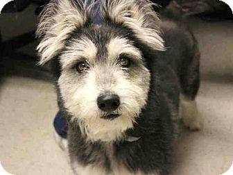 Pin By Moe Grealis On Dogs Schnauzer Mix Pets Giant