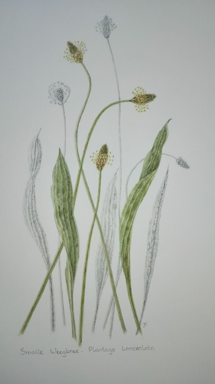 Plantago lanceolata / Smalle Weegbree ©Jessica Frans 2015