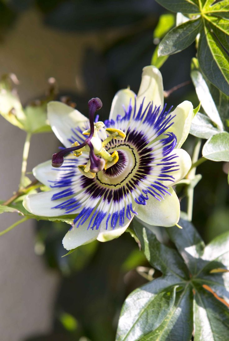 Passiflora caerulea, or passion flower is a real show stopper. To see more climbers, visit our website: http://www.gardenersworld.com/plants/features/plants/10-climbers-to-grow/4805.html Photo by Jason Ingram