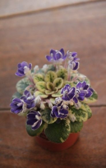 Petite Jewel. African Violet, Saintpaulia, Grown by Boa Linn, photo taken by Boa Linn.