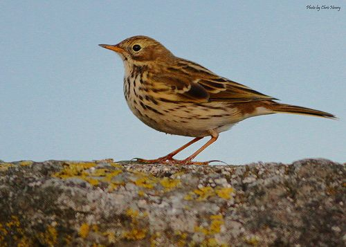 Meadow Pipit (Explored)