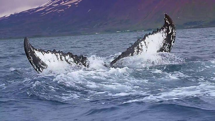 Whales Iceland #Akureyri #safari #Iceland