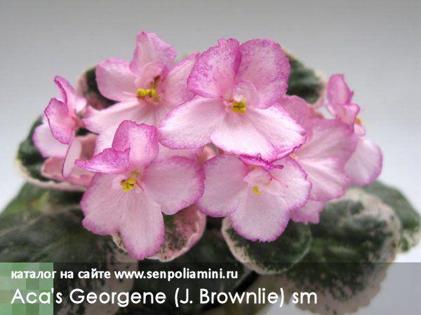Aca`s Georgene Полумахровые светло-розовые цветы с красными черточками и красной блестящей каймой. Темно-зеленая стеганая листва с розовой окантовкой. Полумини.