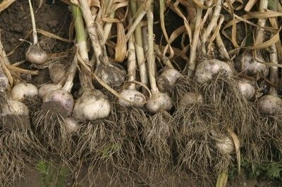 When To Harvest Garlic -  So you planted garlic in the garden and you let it grow all winter and all spring and now you are wondering when you should be harvesting garlic. Read here to find out the best time to harvest garlic plants.
