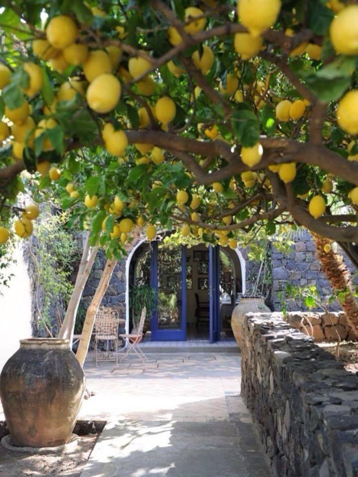 Belo túnel de plantação de limão siciliano… LINDO, NÉ?? —