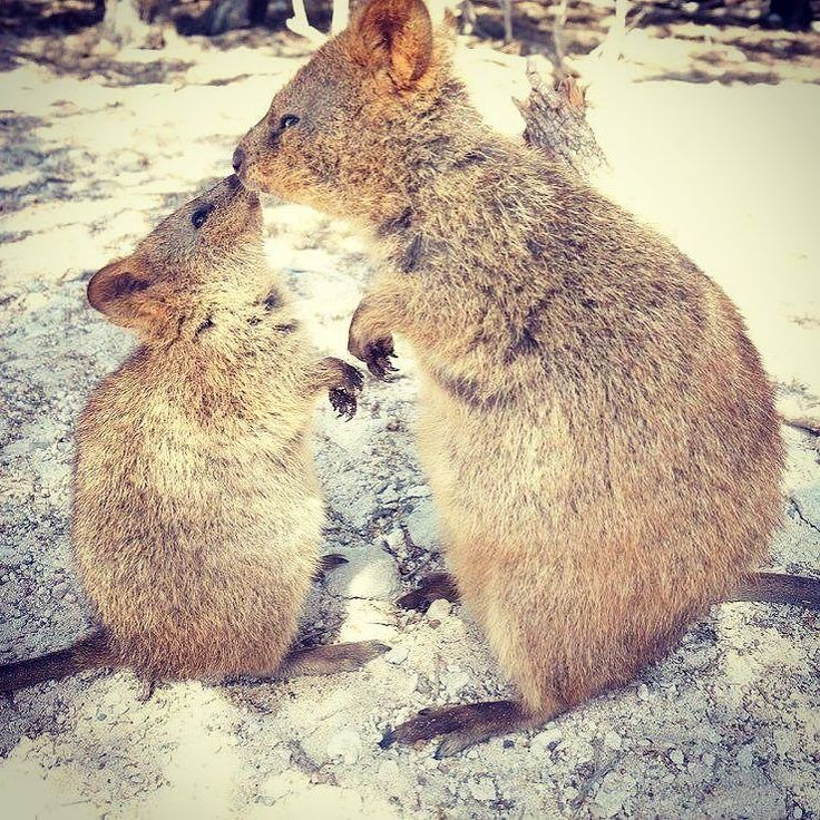kiss 思い出してはわわわわわーん 君にもう一度会いたいよ 可愛すぎてうっとりだよ #quokka #rottnestisland #westaustralia #summer #クアッカワラビー #happiest #animal #intheworld @quokkahub @quokkaposts by rikacho76 http://ift.tt/1L5GqLp