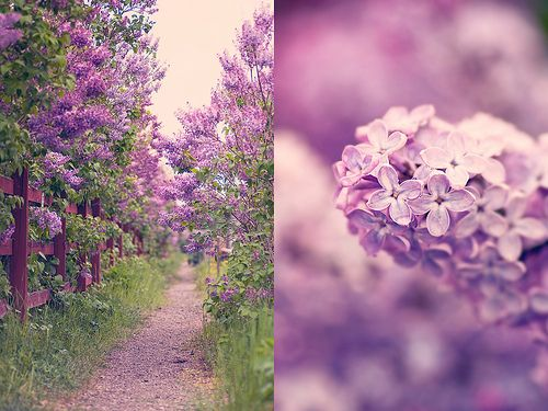 lilac path, I can almost smell it...: Favorite Places, Paths, Flowers Power, Old Houses, Backyard, Dark Purple, Memories, Photo, Lilacs