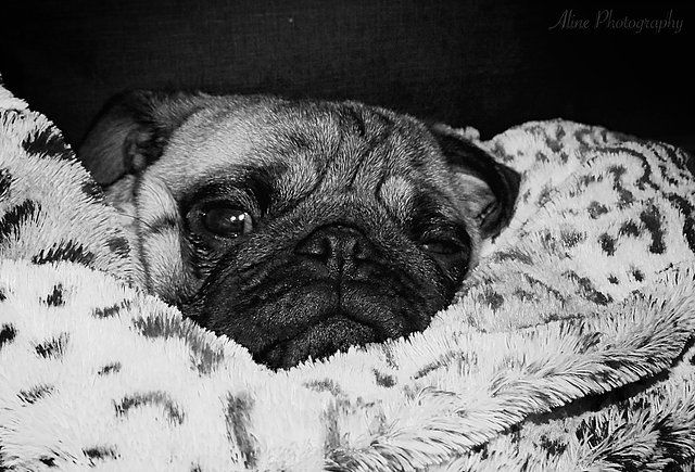 Pin By Aline Photography On Pug Pugs Pug Puppies Pug Art