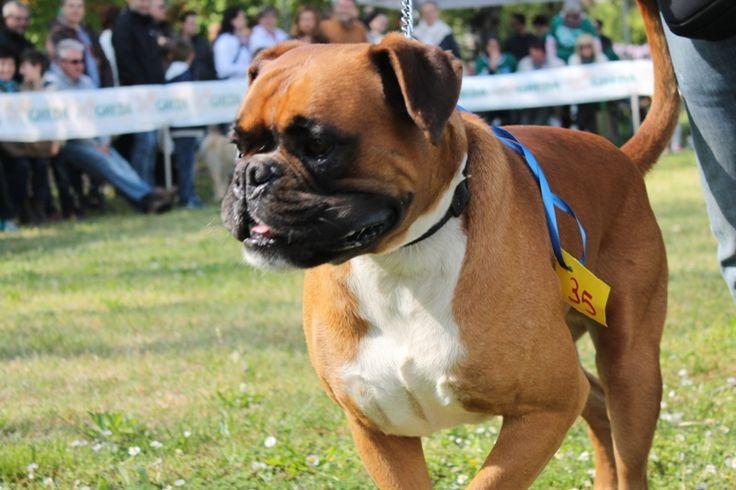 Il boxer in gara