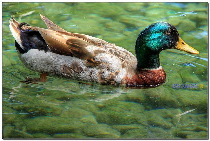 https://flic.kr/p/Eke3NV   Birds in Macedonia and the rest of Greece     #πουλιά #πτηνά #bird #birds #life #wild #wetland #Greece #Flight #flying #Beautiful #Nature #world #υγροβιότοπος #πετάω #φύση #animals #Greece #Ελλάδα #Macedonia #Photography #George  #eyes #@ #papaki #BirdsinGreece  #visitgreece #greekphotographers #europeanphotography #naturephotography #sea  #θάλασσα #water #feather #φτερό  #Ducks #duckling #πάπιες #animals