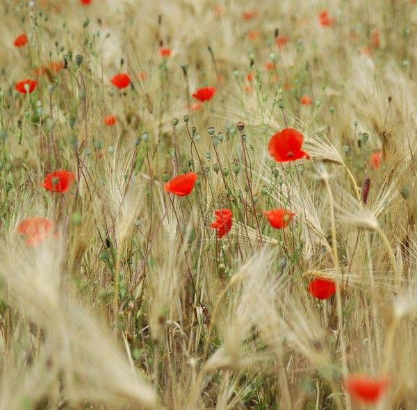 фото полевых цветов_1_12