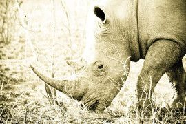 rhino, rhino photos, rhinos in Africa, rhino in South Africa, Kruger National Park, wildlife in Kruger National Park, Kruger National Park photos, rhinos in Kruger National Park
