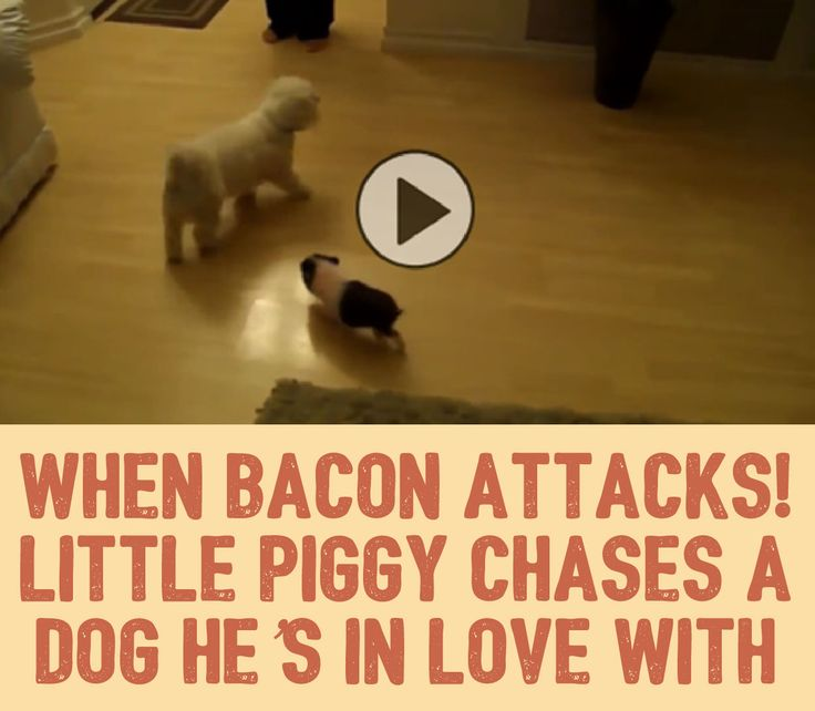 When Bacon Attacks!! Little Piggy Chases A Dog He's In Love With!