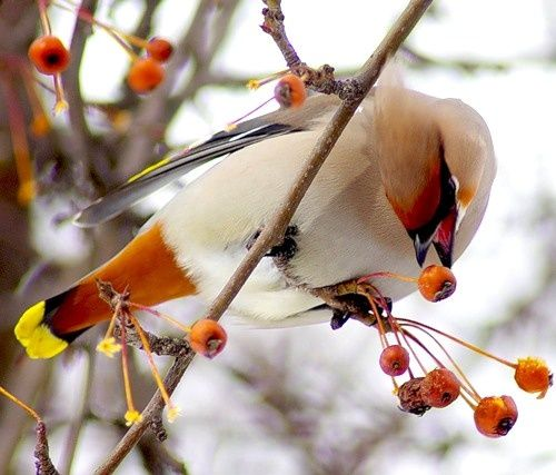 Wistfully CountryWinter Colors, Berries Breakfast, Birds Photos, Front Yards, Autumn Beautiful, Beautiful Birds, Cedar Waxwing, Animal, Feathers Friends