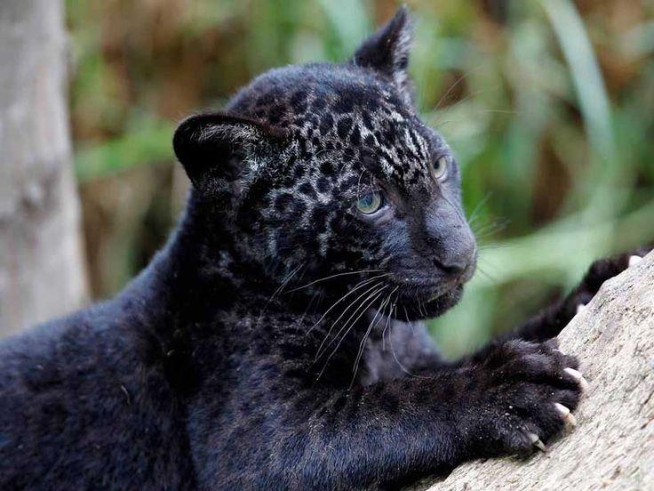 Panther Sanctuaries in Goa, India @ Sanctuariesindia.com