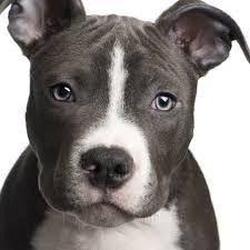 Este é o pitbull é de orixe tanto estado unidense coma inglés. Tamen era un can de pelea