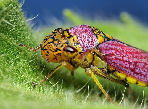 Colorful Broad-headed Sharpshooter Leafhopper - By Thomas Shahan
