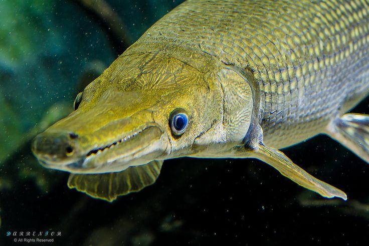 578 best freshwater fish images on pinterest freshwater for Freshwater gar fish
