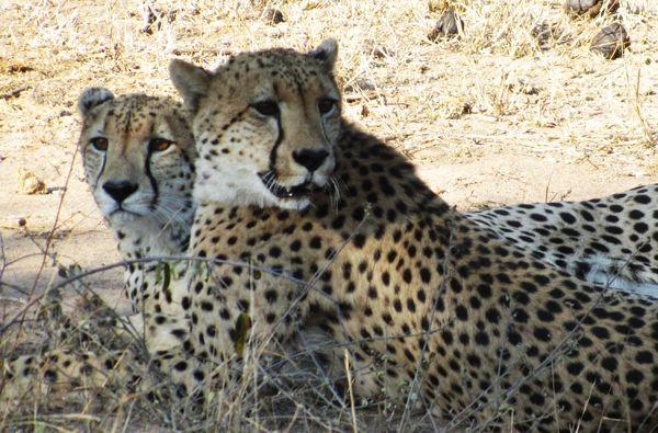 #cheetah #africaonfoot #klaserie #wildlife #Kruger #safari