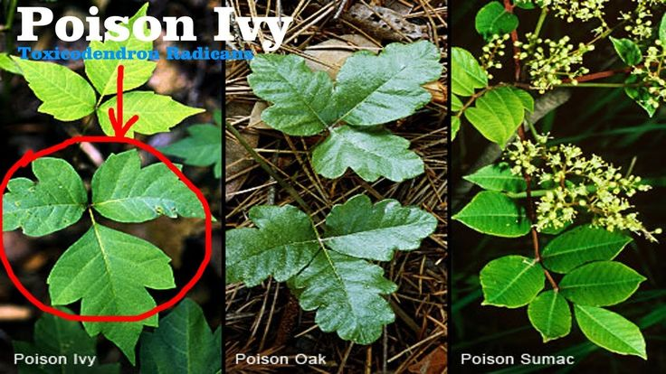 ⟹ POISON IVY, Toxicodendron radicans is it edible? tune in and find out!...