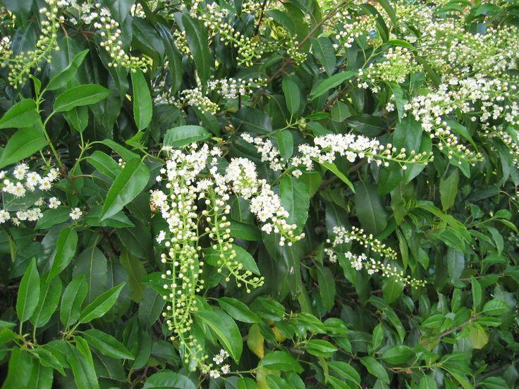 1. Prunus lusitanica (Portuguese Laurel) hedge