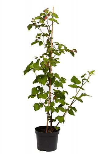 Himbeeren Glen Ample stachellos 60-100 cm  2 L Co.