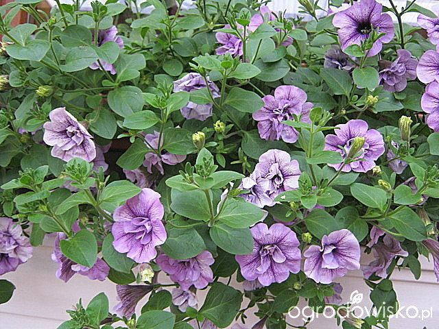 Letnie skrzynki balkonowe i donice - strona 2 - Forum ogrodnicze - Ogrodowisko