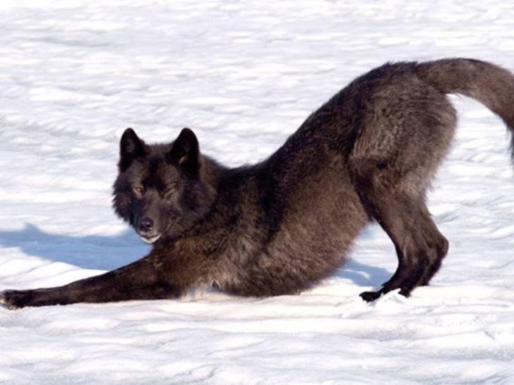 full moon lovers おしゃれまとめの人気アイデア pinterest tamara steinwendner 狼犬 ブラックウルフ 野生動物