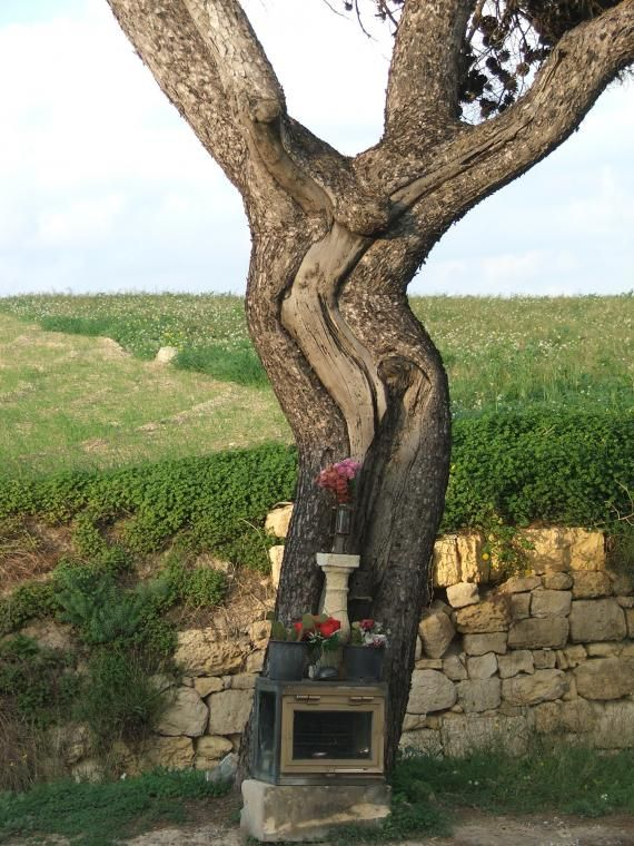 Jesus tree of Malta- The Jesus Tree of Malta is located right off the main road from Zebbug to the walled city of Mdina, the former home of the Knights Hospitalier.