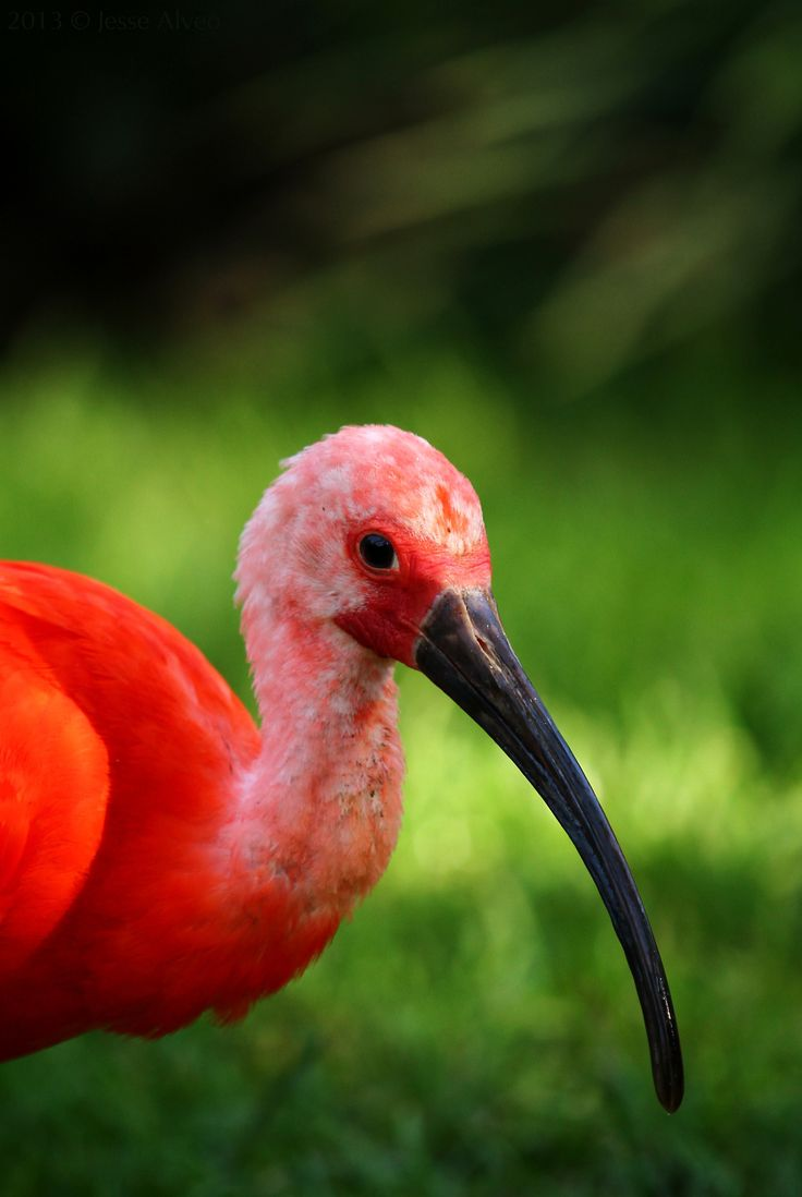269 best flamingos ibis and spoonbills images on pinterest scarlet ibis scharlachsichler eudocimus ruber for a long time it seemed forever i lay there crying sheltering my fallen scarlet ibis from the heresy buycottarizona Choice Image