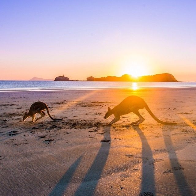 Welcome to the first day of #spring here in Australia, and what a spectacular day it is! @lebackpacker was up early this morning to capture this shot of some local #wallabies hopping along the beach at Cape Hillsborough in @Queensland. This unique spot is a treat for wildlife-lovers, as these animals can be seen on the beach at sunrise almost every morning.