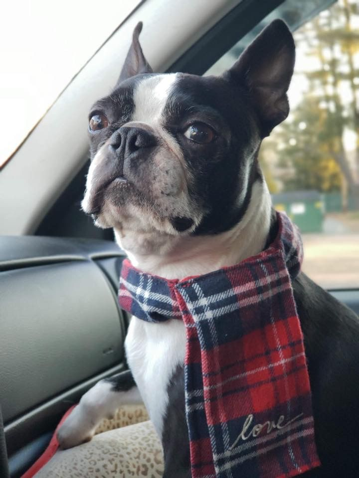 Pin By Donna Sellers On Boston Terriers Boston Terrier Dog Boston