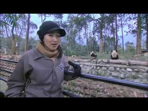 FOOTBALL -  Planète Insolite: au coeur de la Chine : la nature au coeur de la chine , les Pandas  géants - http://lefootball.fr/planete-insolite-au-coeur-de-la-chine-la-nature-au-coeur-de-la-chine-les-pandas-geants/