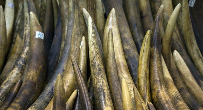 Afrika'da fil dişi ve gergedan boynuzu kaçakçılığı